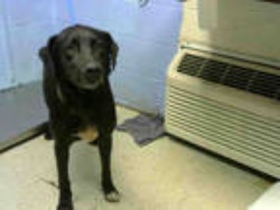 Adopt PRINCE a Black - with White Labrador Retriever / Mixed dog in Atlanta