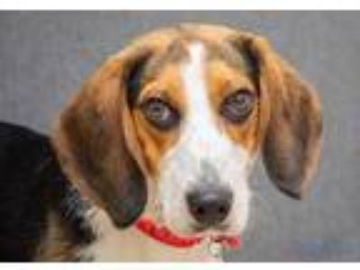 Adopt Rocket a White Beagle / Mixed dog in Hamilton, OH (25299461)