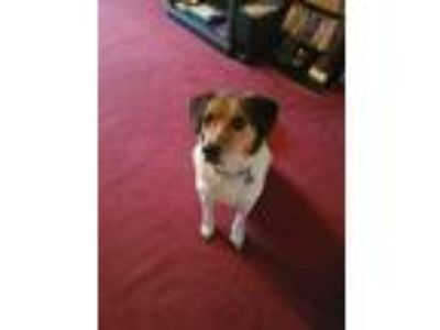 Adopt Rocky a Black - with White Beagle / Hound (Unknown Type) / Mixed dog in