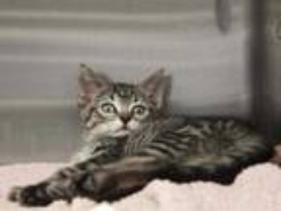 Adopt TEDDY a Brown Tabby Domestic Shorthair / Mixed (short coat) cat in