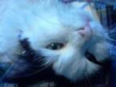 Adopt Mattie a White Domestic Longhair / Domestic Shorthair / Mixed cat in