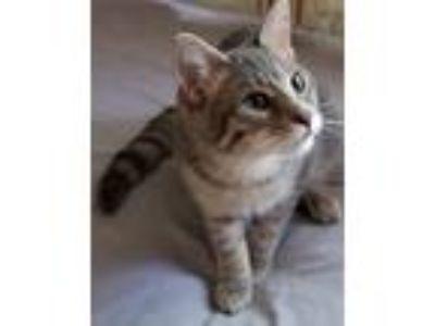 Adopt Pierce - Bond Kitten a Gray, Blue or Silver Tabby Domestic Mediumhair