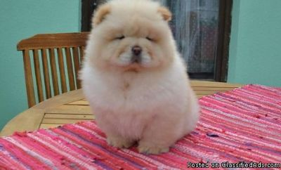Cute chow chow Puppies for adoption