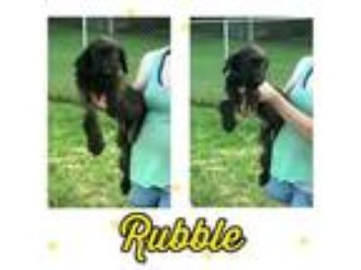 Adopt Rubble a Labrador Retriever, Poodle