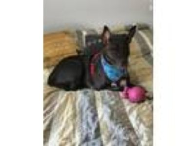 Adopt Daisy a American Staffordshire Terrier