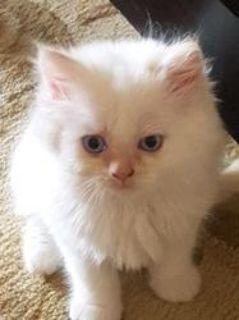 Bengal kitten, silver boy, Coco