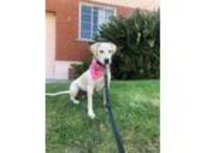 Adopt Paloma a Labrador Retriever, Yellow Labrador Retriever