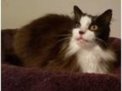 Adopt Egglentine a Black & White or Tuxedo Maine Coon (long coat) cat in Ennis