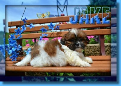 Jake Male Shihtzu