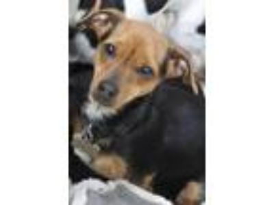 Adopt Gretl a Dachshund, Rat Terrier