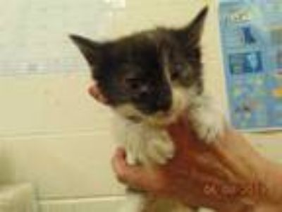 Adopt LUNAR a White (Mostly) Domestic Shorthair / Mixed (short coat) cat in