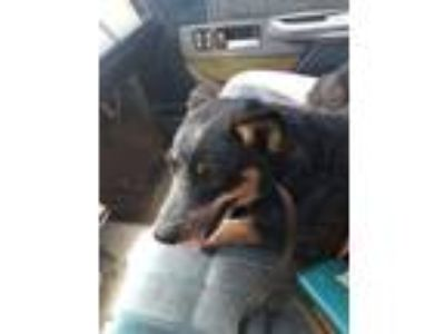 Adopt Mae a Australian Cattle Dog / Blue Heeler