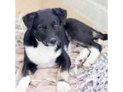 Adopt Tux a Black Shepherd (Unknown Type) / Labrador Retriever / Mixed dog in