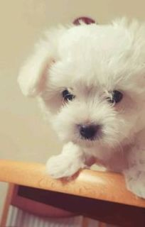Maltese PUPPY FOR SALE ADN-96748 - Female Maltese Puppy