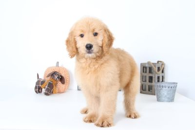 Goldendoodle PUPPY FOR SALE ADN-99506 - Fetch Handsome Male Goldendoodle Puppy