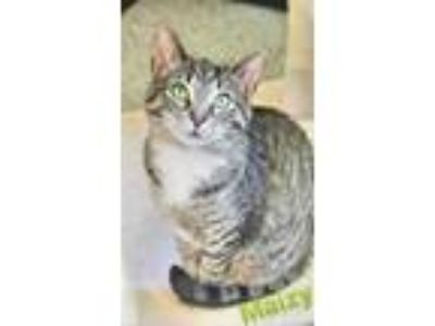 Adopt Maizy a Gray, Blue or Silver Tabby Domestic Shorthair (short coat) cat in