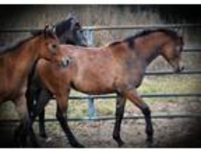 Purebred Arabian mares fillies and geldings for sale breeder retiring