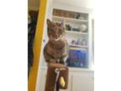 Adopt Gracey Hopper a Domestic Short Hair