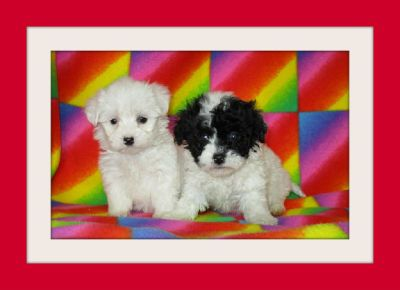 Maltese mixed with Poodle !!! ( 415) -936-4800