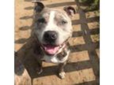Adopt Diesel a Gray/Silver/Salt & Pepper - with Black Pit Bull Terrier dog in