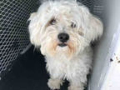 Adopt *DOMINO a White Poodle (Miniature) / Mixed dog in Santa Rosa