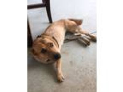 Adopt COURTESY LISTING - Anne a Basset Hound, Australian Cattle Dog / Blue
