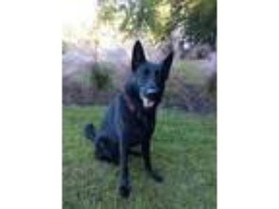 Adopt King a Black German Shepherd Dog / Mixed dog in Concord, GA (24815059)