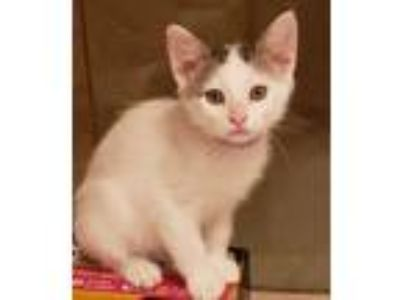 Adopt Dalton a White (Mostly) Domestic Shorthair (short coat) cat in San