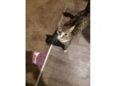 Adopt Winston a Brown Tabby Domestic Shorthair / Mixed cat in Newman