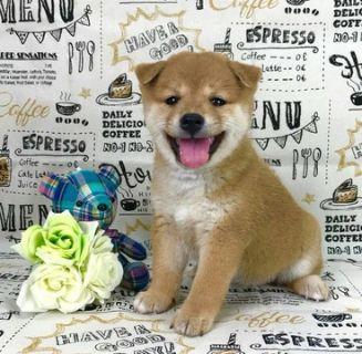 Shiba Inu PUPPY FOR SALE ADN-95375 - Champion level Red Shiba Inu puppy LA SF SEA NY