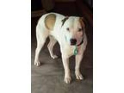 Adopt Nemo a American Staffordshire Terrier