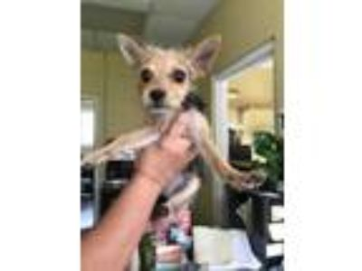 Adopt Trina a Tan/Yellow/Fawn Terrier (Unknown Type, Small) / Mixed dog in
