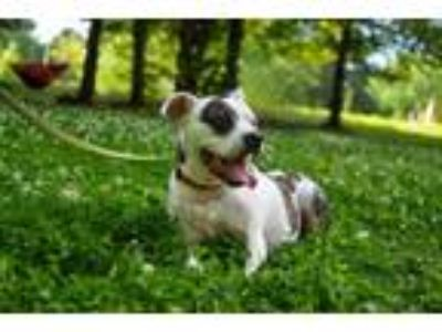 Adopt Sally a American Staffordshire Terrier