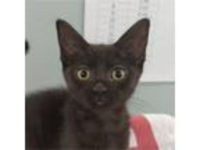 Adopt Lisa a All Black Domestic Shorthair / Domestic Shorthair / Mixed cat in