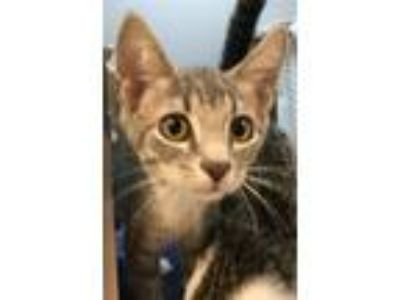 Adopt Simon a Domestic Shorthair / Mixed cat in Pittsburgh, PA (25636134)