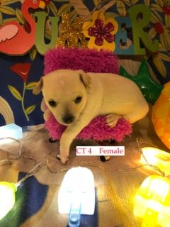 Chihuahua PUPPY FOR SALE ADN-87637 - Chihuahua Puppies