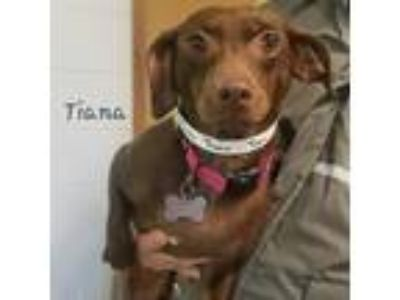 Adopt Tiana a Brown/Chocolate Dachshund / Mixed dog in Middletown, NY (25277531)