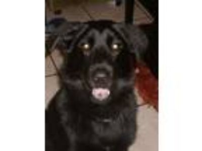 Adopt SHADOW a Labrador Retriever, German Shepherd Dog