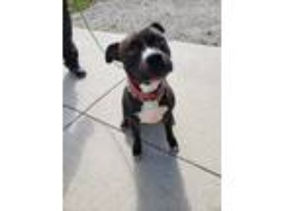 Adopt Leo a Brindle - with White Boxer / Pit Bull Terrier / Mixed dog in Boston