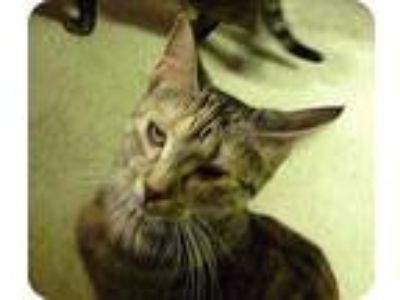 Adopt Weber a Domestic Shorthair / Mixed (short coat) cat in Whitewater