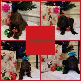 Poodle (Standard)-German Shorthaired Pointer Mix PUPPY FOR SALE ADN-55671 - Pudelpointers