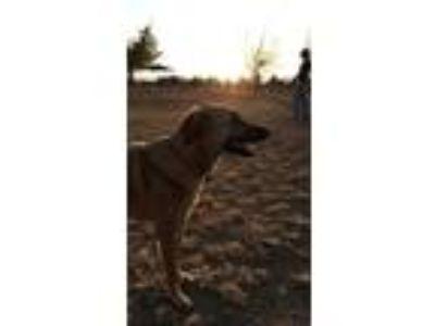 Adopt Layla a Tan/Yellow/Fawn German Shepherd Dog / Labrador Retriever / Mixed