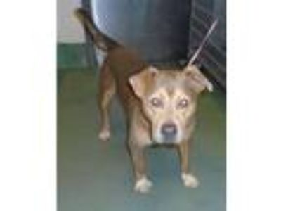 Adopt Trevor a American Staffordshire Terrier / Mixed dog in Raleigh