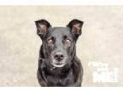 Adopt Olivia Hussey a Black Terrier (Unknown Type, Small) / Mixed dog in