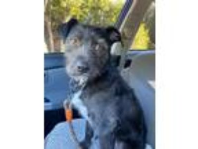 Adopt Pretty a Black - with White Terrier (Unknown Type, Medium) / Mixed dog in