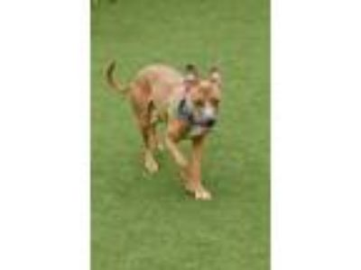 Adopt Cain a Tan/Yellow/Fawn American Pit Bull Terrier / Mixed dog in Cleveland