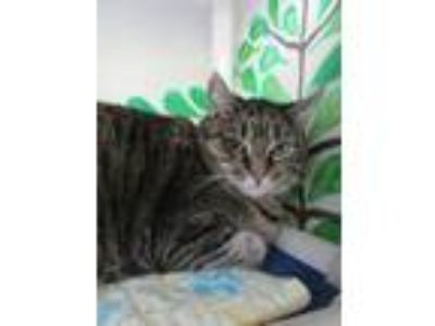 Adopt Benji a Domestic Short Hair