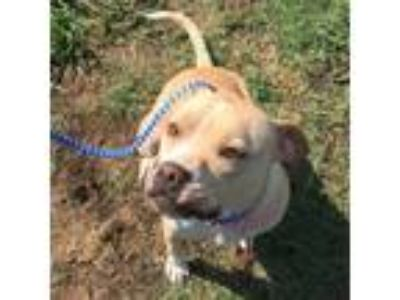 Adopt PIPER a Pit Bull Terrier, Mixed Breed
