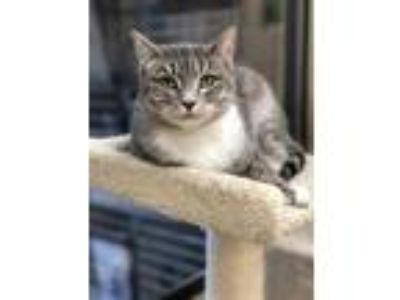 Adopt Spook a Gray or Blue Domestic Shorthair / Domestic Shorthair / Mixed