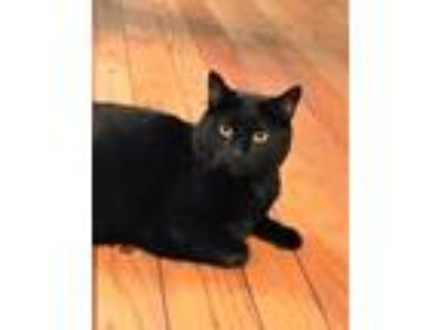 Adopt Aurora a Domestic Short Hair, Tuxedo